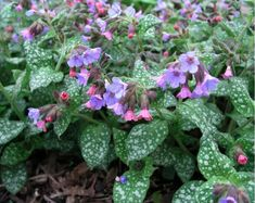 Pulmonaria 'Mrs Moon'; good for shade