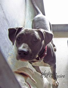 07/27/15-A4856205 I am a very friendly 10 month old female blue pit bull mix. I came to the shelter as a stray (along with my companion, A4856204 - previous photo) on July 15. available 7/19/15 Baldwin Park shelter https://www.facebook.com/photo.php?fbid=1000198393325331&set=a.705235432821630&type=3&theater