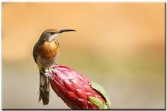 Image result for sugarbird Bird Species, Most Beautiful Pictures, South Africa, Illustration, Japanese Bird, Garden Birds, Animals, Zimbabwe, Image
