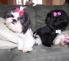 Cozy on the couch - shih tzu's omg lol so cute!