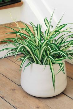 Spider plants are one of the most common houseplants. Spider plants also do well in many gardens, depending on the zone in which the garden is located. Green Plants, Potted Plants, Cactus Plants, Foliage Plants, House Plants Decor, Plant Decor, Best Indoor Plants, Indoor Garden, Best Bathroom Plants