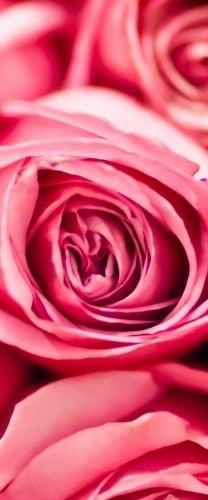#PiagetRose roses roses roses Flowers Garden Love