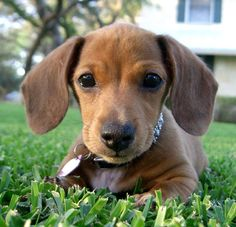 i'm definitely biased but i don't think cuter puppies exist than mini doxies.