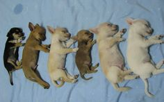 Chihuahua. I have a baby girl like the last one on the right <3