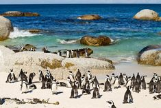 boulders beach penguin sanctuary near Cape Town, South Africa African Penguin, Boulder Beach, Table Mountain, Cape Town, Bouldering, Day Trips, Scenery, Tours, City