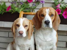 Beagles!-