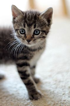 """""""Curious cat."""" © Attackofthecute.com (quote) via attackofthecute.com"""