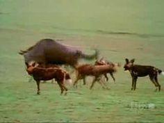 Female Wildebeest Vigorously Defends Calf - Go Mama!