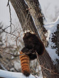 円山動物園 ホクト Hokuto, Maruyama Zoo  Red pandas レッサーパンダ 小熊猫