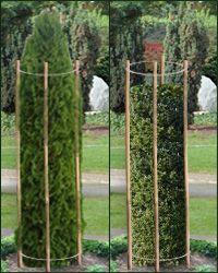 топиари - стрижка колонны