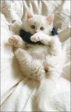 Turkish Van Kedisi. Pure white cats. So cute. Look at those cute back legs! :D