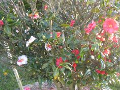 Camellia japonica Lady Vansittart, bush with different colored blooms