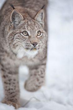 lynx ahead (captive) by Stefan Betz on can find Lynx and more on our website.lynx ahead (captive) by Stefan Betz on Pretty Cats, Beautiful Cats, Animals Beautiful, Pretty Kitty, Big Cats, Cool Cats, Cats And Kittens, Lynx Boréal, Eurasian Lynx