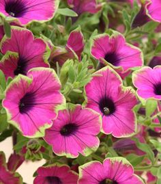 Arriving tomorrow-!proven winners picasso in pink petunia | petunia supertunia pretty much picasso full name petunia supertunia ...