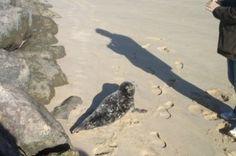 Le phoque aperçu à Arcachon