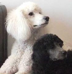 Khalsa Standard Poodle Puppies