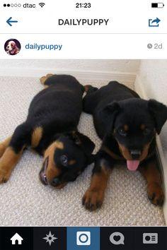 Puppy Dobermann!!