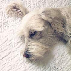 #photo#dog #likeforlike #like4like #nice #pretty #sleep#photography #taptap #schnauzer #cute #taptap http://tipsrazzi.com/ipost/1506271277378335518/?code=BTnWb8HgnMe