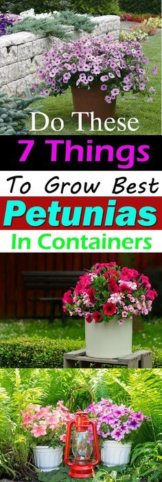 Do These 7 Things To Grow Best Petunias In Containers Growing Petunias in Containers Petunia Care Tips Balcony Garden Web Container Flowers, Container Plants, Container Gardening, Gardening Tips, Organic Gardening, Vegetable Gardening, Gardening Books, Succulent Containers, Allotment Gardening
