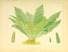 Biodiversity Heritage Library n300_w1150  European ferns /.