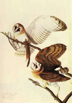 james audubon paintings on fb | Audubon: BARN OWL - Giclee Art Reproduction on Stretched Canvas ...