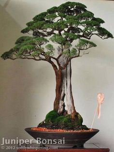 Genévrier de Chine #bonsai
