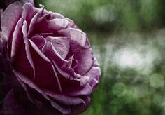 Rosa verde, blanca y verde. Rosa andaluza by Sofía Serra on 500px