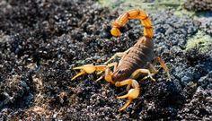 Escorpión palestino amarillo