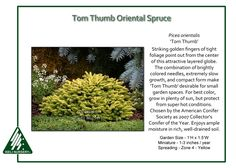 Tom Thumb Oriental Spruce Striking golden fingers of tight foliage point out from the center of the attractive Picea orientalis 'Tom Thumb'. The combination of brightly colored needles…