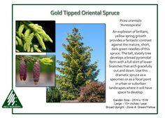 Picea-orientalis-Aureospicata-1.jpg 1,350×964 pixels