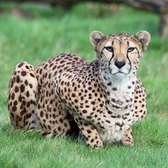 Happy #InternationalCheetahDay!     #WMSP #Cheetah #BigCat #CatsofInstagram #CheetahDay #Cat #Animals #SafariPark #Cute
