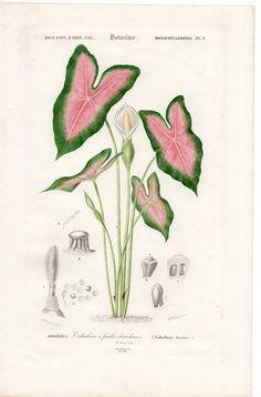 1861 elephant ear plant caladium original by antiqueprintstore