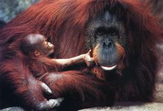 photograph of orang-utan and her baby
