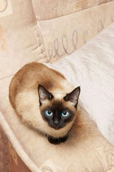 """""""The Tonkinese cat is comprised of the hybridisation of the Siamese and the Burmese cat breeds, and inherits all of the warm, friendly and outgoing traits that both of the parent breeds are renowned for..."""""""