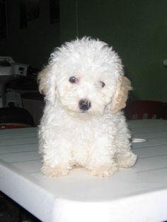 fotos de perros raza caniche enano - Buscar con Google