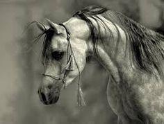 Bilderesultat for arabian stallion