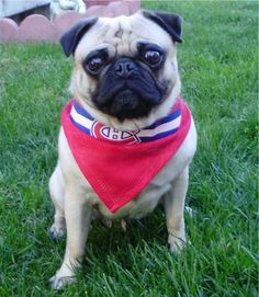 Montreal Canadiens for my doog. Go Habs Go! Montreal Canadiens, Best Dog Breeds, Best Dogs, Dog Football, Pugs And Kisses, Virtual Pet, Pug Love, Pet Clothes, Rescue Dogs