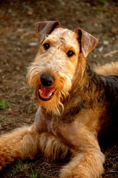 EasyPetMD Airedale Terrier Breed Information History Health Pictures And Baby Dogs, Pet Dogs, Dogs And Puppies, Doggies, Terrier Breeds, Airedale Terrier, Fox Terriers, Pet Breeds, Large Dog Breeds