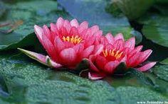 lotus flowers - Google Search