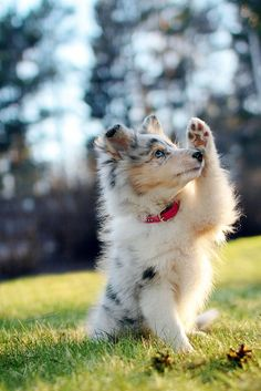 The traits we all admire about the Intelligent Australian Shepherd Dogs - Puppies Cute Baby Animals, Animals And Pets, Funny Animals, Aussie Puppies, Cute Dogs And Puppies, Doggies, Puppies Puppies, Collie Puppies, Teacup Puppies