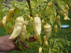 Devil's Tongue White -10 seeds-Capsicum Chinense -Very Hot-125,000 ~ 325,000 SHU