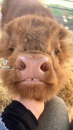 Baby Farm Animals, Cute Wild Animals, Baby Cows, Super Cute Animals, Cute Little Animals, Animals Beautiful, Funny Animals, Funny Dogs, Cute Baby Cow