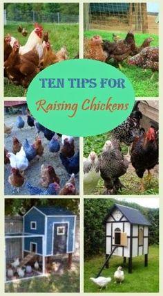 """{""""i"""":""""imgs\/9f0b021bb6c3bd30cd1a87242297bc9c.jpg"""",""""w"""":""""320″,""""h"""":""""580″,""""l"""":""""http:\/\/evrything-chicken.blogspot.nl\/2014\/09\/10-top-tips-for-raising-chickens.html""""}"""