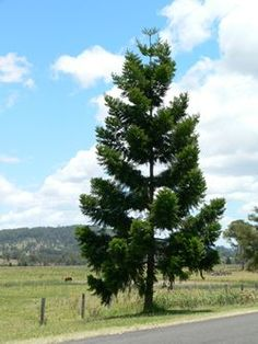 Hoop Pine (Auraucaria Cunninghamii) Queensland pine, colonial pine. A large tree attaining 50 m in height and 1.8 stem diameter. It usually has a straight cylindrical trunk. The hoops are apparent when bark is stripped from the trunk. Occurs naturally in drier rainforests from Hastings River to Far North Queensland. It is also grown in plantations. Sawn timber of this species is readily available, mainly from plantation grown trees.