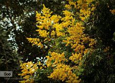 Golden Rain Tree by JoeyCulver1 #nature