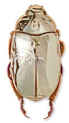 Chrysina limbata, silver chafer beetle jewellery inspiration