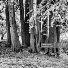 View top-quality stock photos of Trees In Forest. Find premium, high-resolution stock photography at Getty Images. Royalty Free Images, Trees, Stock Photos, Black And White, Plants, Photography, Photograph, Black N White, Tree Structure