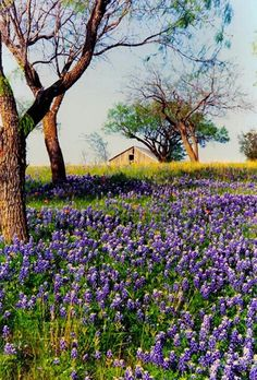 Beautiful blue bonnets with a barn in the distance❤ Texas Hill Country, Country Life, Country Living, Country Charm, Beautiful Flowers, Beautiful Places, Texas Bluebonnets, Blue Bonnets, The Ranch