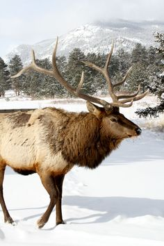 Estes Park! This beautiful bull elk was out after our latest snowstorm in Estes Park, Gateway to the Rocky Mountains!