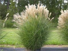 Miscanthus sinensis 'Gracillimus' 7' x 4' Late bloom, sometimes no bloom